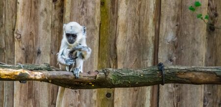 closeup of an adorable bengal hanuman langur infant, tropical primate specie from Bangladesh