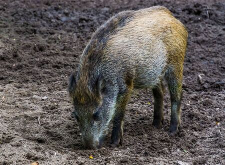 portrait of a wild boar grubbing the earth, instinctual pig behavior, common animal specie from Eurasia