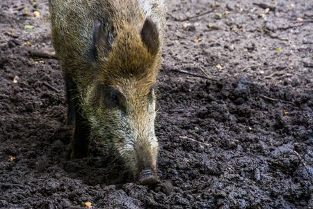 closeup of a wild boar grubbing in the earth, popular pig specie from Eurasia Stock Photo