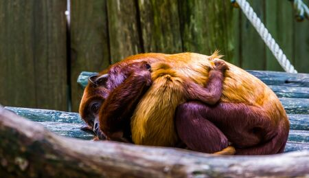 closeup of a coppery titi mother cuddling with her infant, tropical monkey with baby, Exotic primate specie from south America