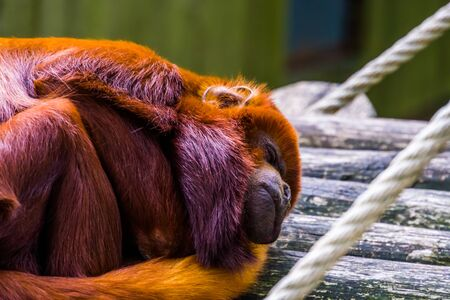 closeup of a coppery titi sleeping, tropical red monkey, exotic primate specie from south America Imagens