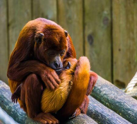 coppery titi mother cuddling with her infant, Monkey with baby, tropical primate specie from south America