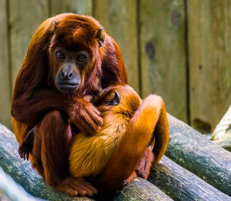 beautiful portrait of a coppery titi with her infant, mother monkey cuddling with her baby, Primate behavior Imagens