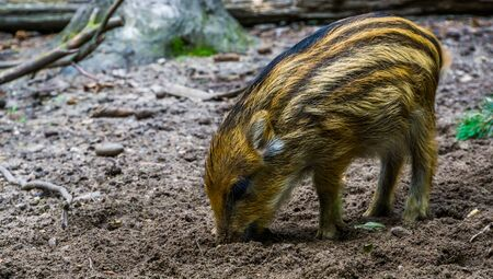 closeup of a young wild boar piglet grubbing in the earth, common pig specie from the forest of Eurasia