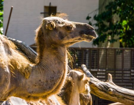 closeup of the face of a camel, popular animal used for transportation
