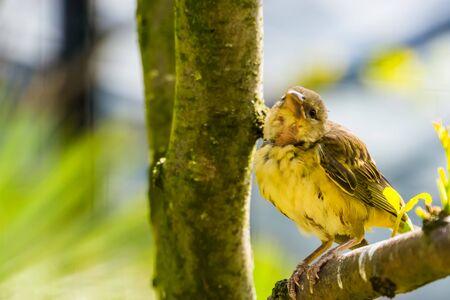 village weaver bird looking towards camera, popular bird specie in Aviculture from Africa