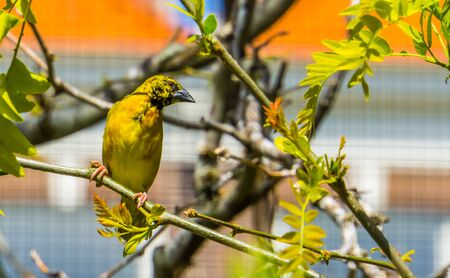 beautiful closeup of a male village weaver bird sitting on a tree branch, popular and colorful bird specie from Africa