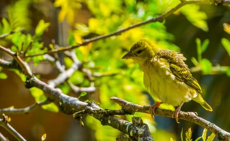 beautiful village weaver closeup portrait, tropical and colorful bird specie from Africa