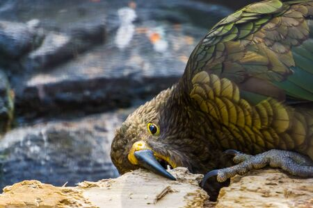 closeup of kea parrot chewing on wood, typical bird behavior, Endangered animal specie from new zealand