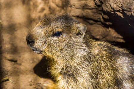 closeup of the face of a alpine marmot, wild squirrel specie from the Alps of Europe