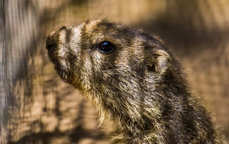 the face of a alpine marmot in closeup, wild squirrel specie from the alps of europe Imagens