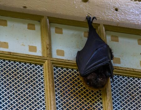 closeup of a rodrigues flying fox hanging on the ceiling while sleeping, tropical mega bat, Endangered animal specie from Africa Imagens