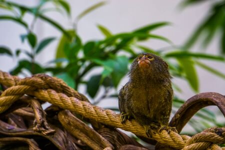 pygmy marmoset in closeup, small cute tropical monkey, exotic animal specie from America Imagens