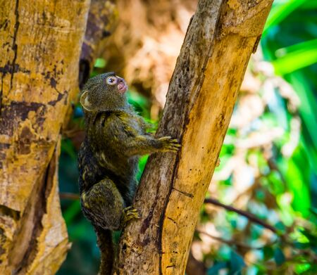 pygmy marmoset climbing in a tree, worlds smallest monkey, Small tropical primate specie from America