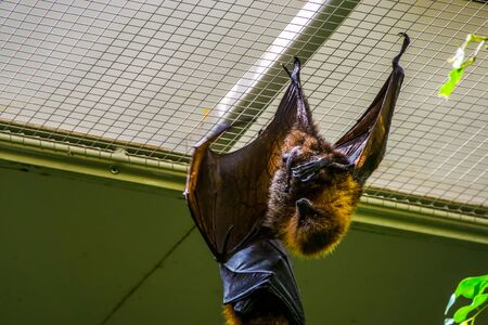 rodrigues flying fox hanging on the ceiling in closeup, Tropical mega bat, Endangered animal specie from Africa Imagens