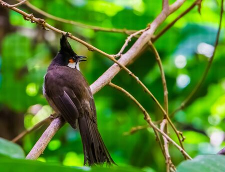 red whiskered bulbul sitting on a tree branch in closeup, tropical black crested bird, exotic animal specie from Asia