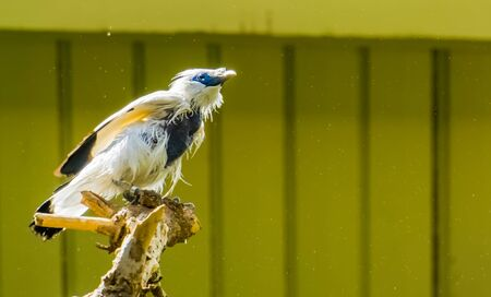 closeup portrait of a bali myna starling, critically endangered bird specie from indonesia