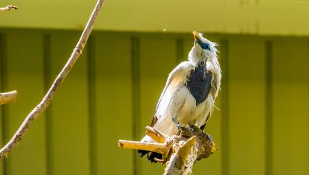 portrait of a bali mynah starling, pure white bird, Critically endangered animal specie from Indonesia