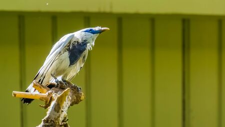 portrait of a bali mynah starling in closeup, pure white bird, critically endangered animal specie from indonesia Imagens