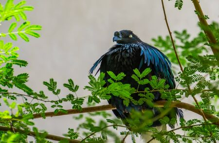 Nicobar pigeon sitting in a tree, colorful dove with glossy feathers, near threatened bird specie from India Imagens