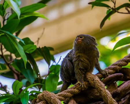 adorable closeup of a pygmy marmoset, small tropical monkey, exotic primate specie from America