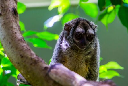 cute closeup portrait of a grey handed night monkey, nocturnal primate, vulnerable animal specie from South America Imagens