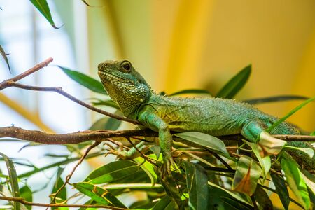 chinese water dragon lizard laying on a tree branch, tropical reptile specie from Asia