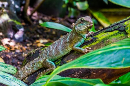 closeup of a chinese water dragon lizard, tropical reptile specie from Asia Imagens
