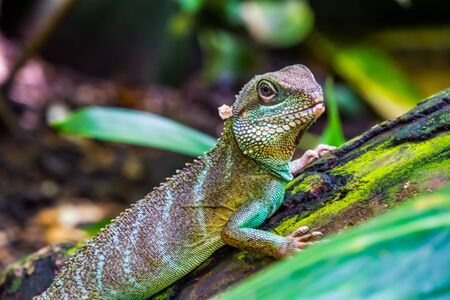 Chinese water dragon lizard in closeup, tropical reptile pet, Exotic animal specie from Asia Imagens