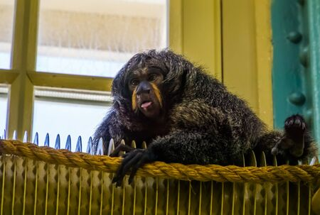 closeup of a female white faced saki, tropical monkey, exotic animal specie from america