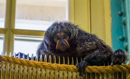 female guianan saki in closeup, tropical monkey, exotic animal specie from America Imagens