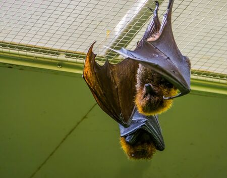 portrait of a Rodrigues flying fox hanging on the ceiling, Tropical mega bat, Endangered animal specie from Africa