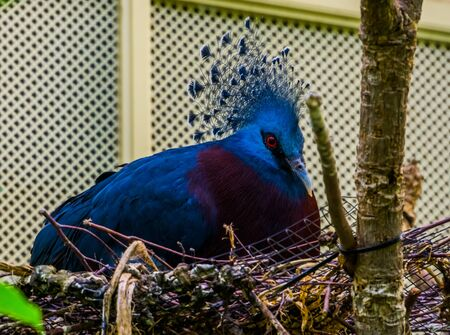 closeup of a victoria crowned pigeon sitting in its nest, bird breeding season, Colorful dove from new guinea