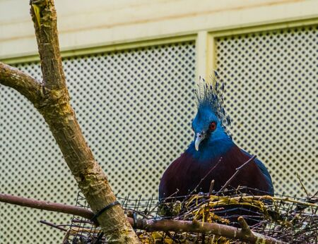 Victoria crowned pigeon sitting in its nest, bird breeding season, Colorful dove from new guinea
