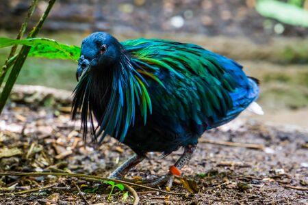 beautiful closeup portrait of a nicobar pigeon, colorful dove with glossy feathers, tropical bird from India, Near threatened animal specie Imagens