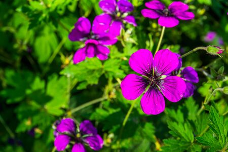 macro closeup of blooming purple flowers of a armenian cranesbill plant, popular cultivated flower specie