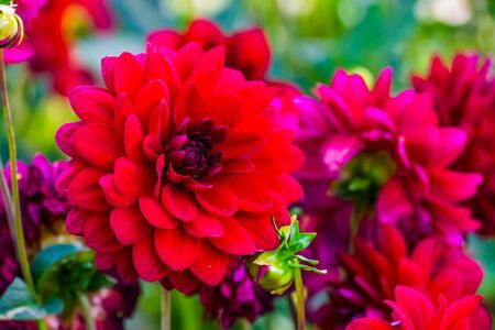 closeup of a big red dahlia flower in bloom, beautiful decorative garden plant, popular cultivated flowering plants