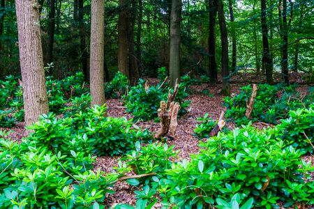 Forest scenery with fresh growing pachysandra bushes, nature background