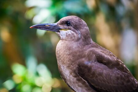 The face of a female inca tern in closeup, Coastal bird from America, Near threatened animal specie