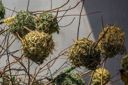 black headed weaver nests in a tree, homes of a tropical finch from africa, bird breeding season Imagens