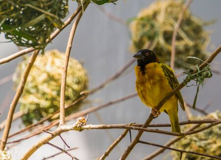 closeup of a black headed weaver sitting on a tree branch, tropical bird specie from Africa Imagens