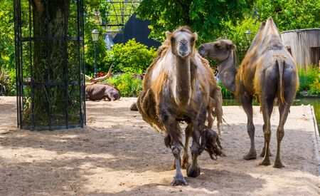 Camel couple standing together and one walking towards camera, popular pet and zoo animals