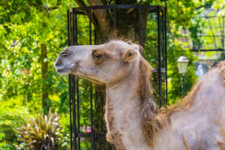 camel face in closeup, popular animal used for travel, pet and zoo animals