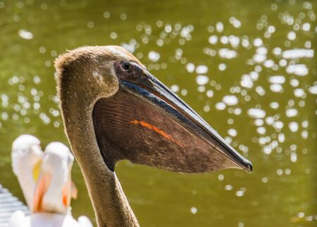 the face of a dark colored great white pelican in closeup, bird color mutation, water bird specie from Eurasia Imagens