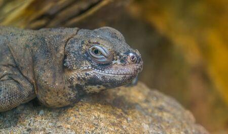 Chuckwalla face in closeup, tropical lizard, iguana specie from Mexico