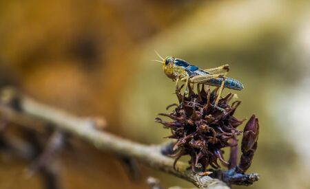 macro closeup of a locust, popular insect from Eurasia, grasshopper species Imagens