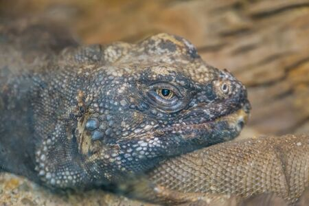 the face of a common chuckwalla in closeup, tropical lizard, iguana specie from Mexico Imagens