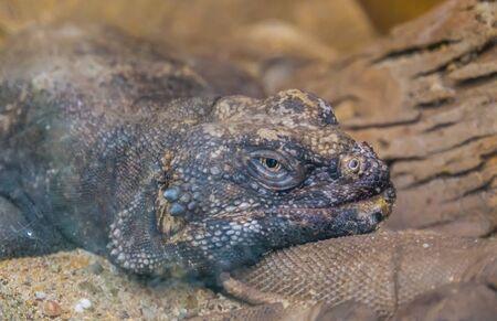 common cuckwalla face in closeup, exotic lizard, iguana specie from Mexico