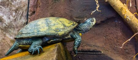 beautiful portrait of a european pond turtle, Exotic reptile from Europe, near threatened animal specie