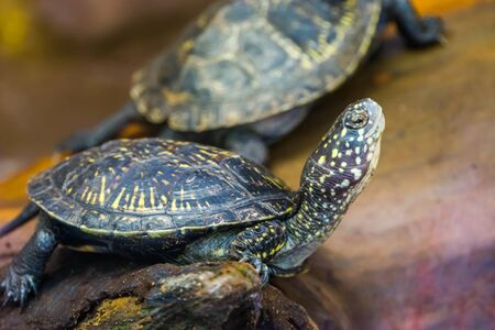 funny closeup of a european pond turtle, tropical reptile from Europe, Near threatened animal specie Imagens